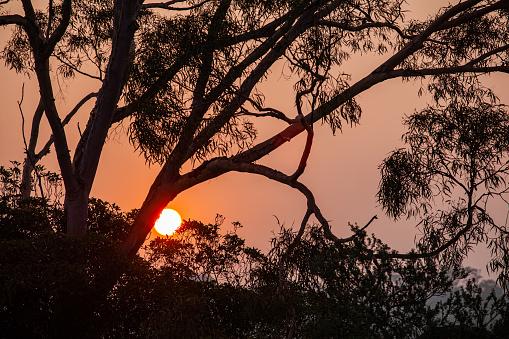 Red sun shining through gum tree silhouette closeup