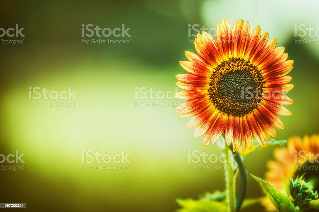 Red Sunflower  on green nature background, outdoor, banner royalty-free stock photo