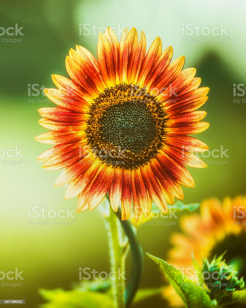 Red Sunflower  on green nature, close up, outdoor royalty-free stock photo