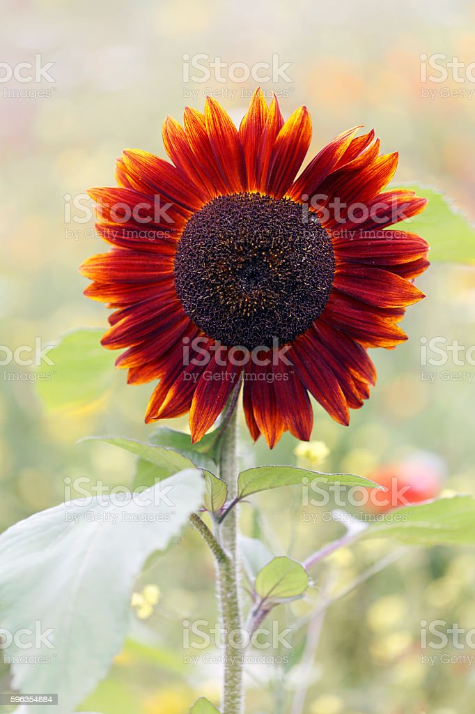 Red Sunflower royalty-free stock photo