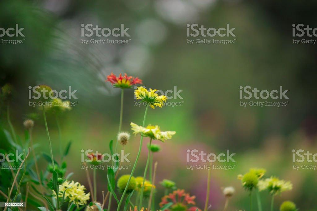 Red Sunflower stock photo