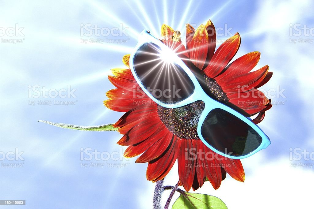 red sunflower with sunglasses stock photo