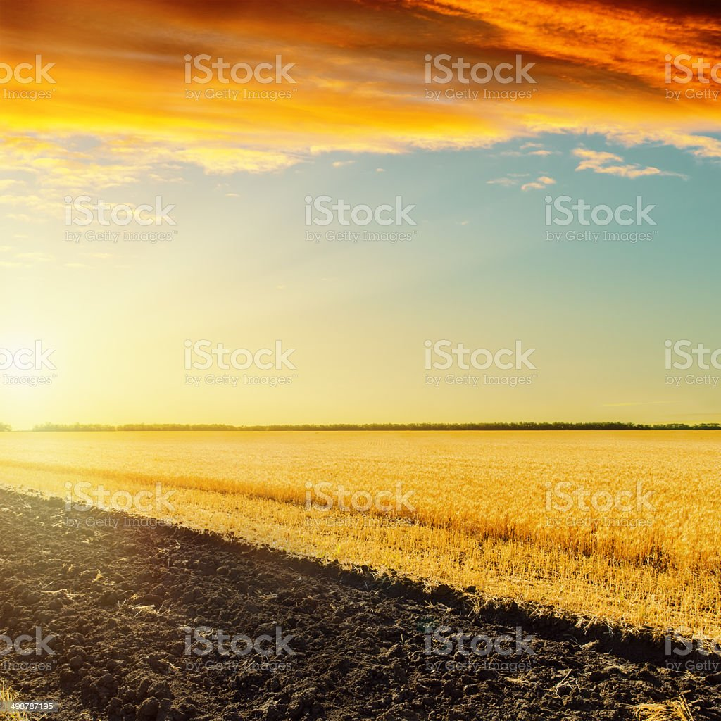 red sunset over field with golden harvest stock photo