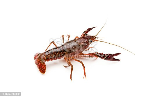 Red swamp crayfish isolated on white background. Procambarus clarkii is a species of cambarid freshwater crayfish, native to northern Mexico and Louisiana in the USA. It has been introduced in other countries and has become an invader specie. XXXL 42Mp studio photo taken with SONY A7rII and Sony FE 90mm f2.8 Macro G OSS lens
