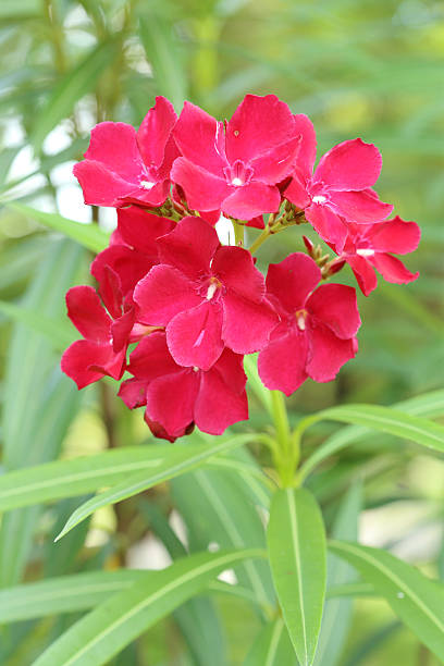red sweet oleander flower - peregrina stockfoto's en -beelden