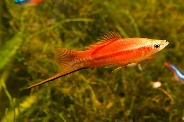 rote schwertträger fisch - pengpeng stock-fotos und bilder