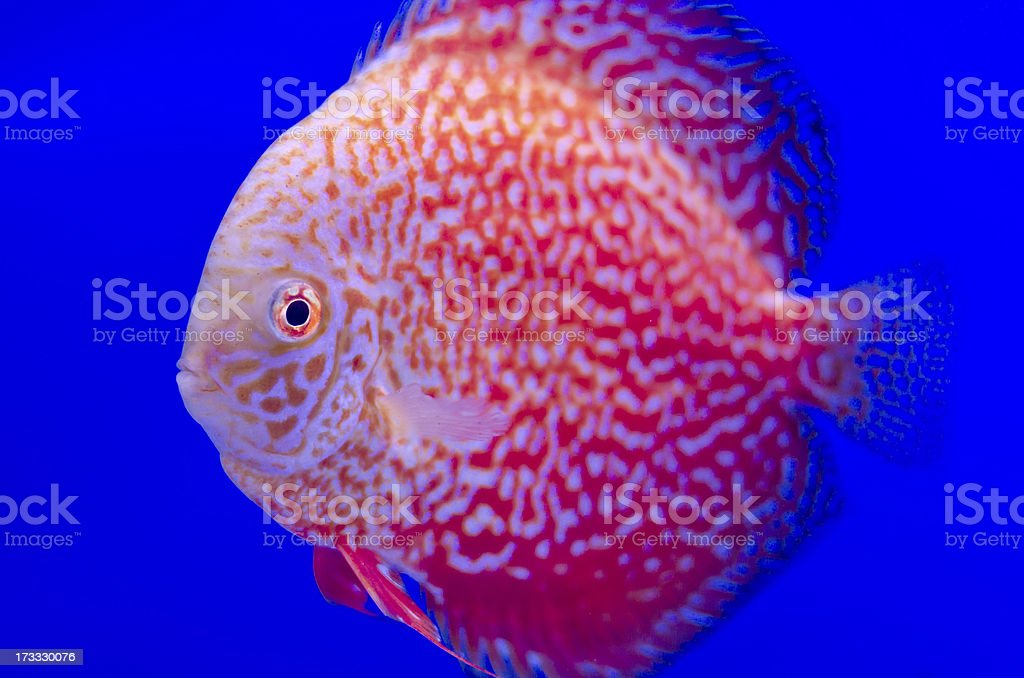 Red Symphysodon Discus in blue royalty-free stock photo