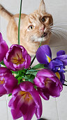 Cute grey cat in basket with double early tulips. Valentines day concept. Mothers day concept. Place for your text. Copy space.
