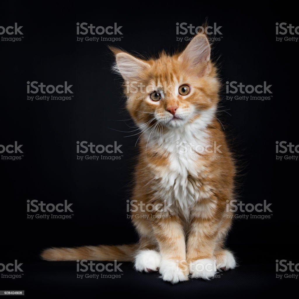 Rod Tabby Med Vita Maine Coon Katt Kattunge Foton Och Fler Bilder Pa Clown Istock