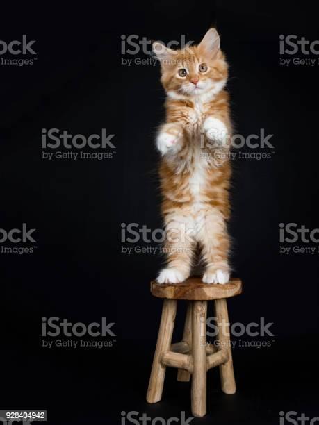 Red tabby with white maine coon cat kitten picture id928404942?b=1&k=6&m=928404942&s=612x612&h=cfyqlmdeyzoweq exmgna vnjbd6ao6ovl e5wmykj0=