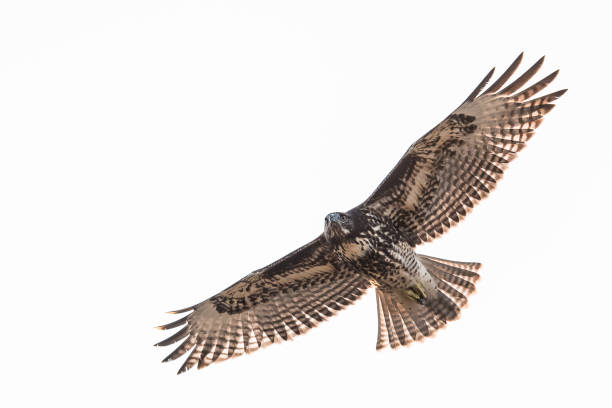 red tail hawk in flight - dally stock pictures, royalty-free photos & images