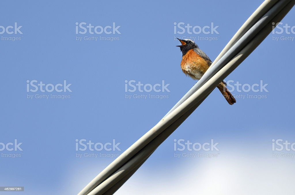 Red tail royalty-free stock photo