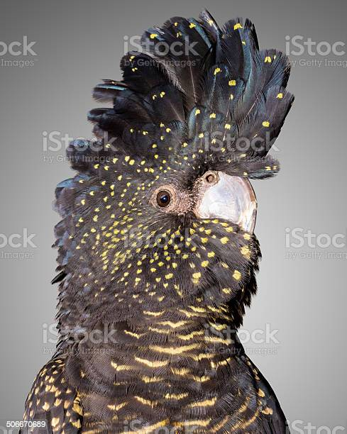Photo of red tailed black cockatoo