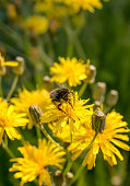 Red Tailed Bumblebee Collecting Pollen From Yellow Dandelion Flowers