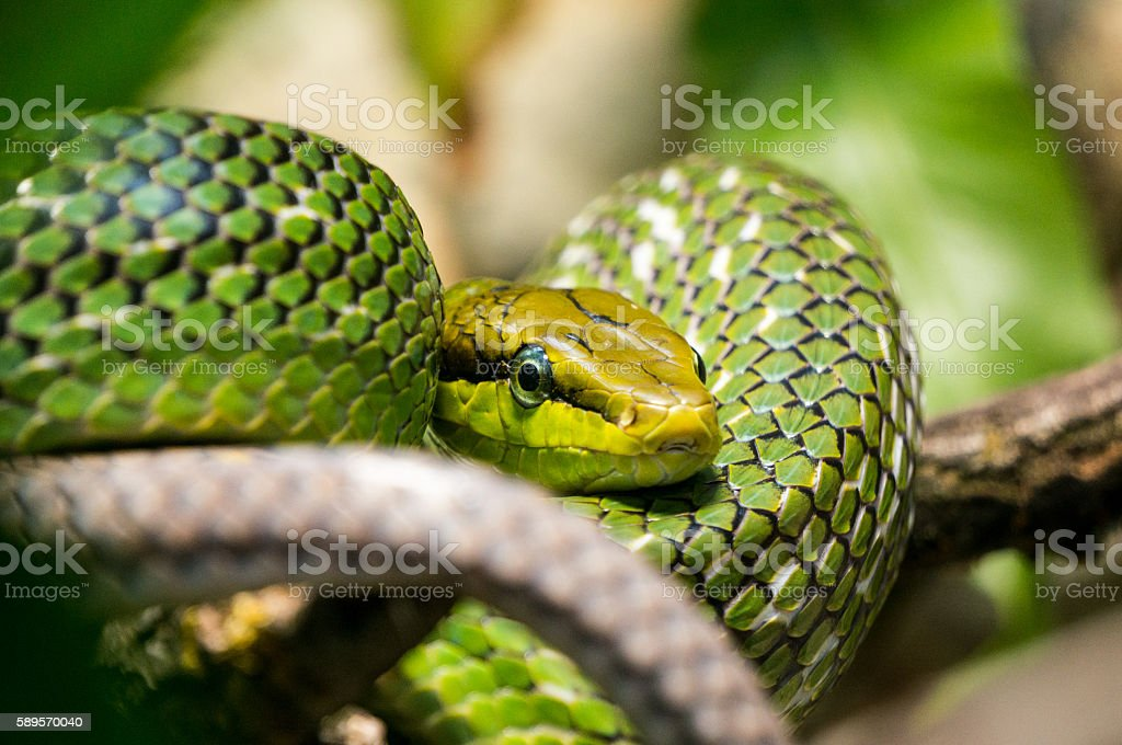 Red tailed Green Rat snake stock photo