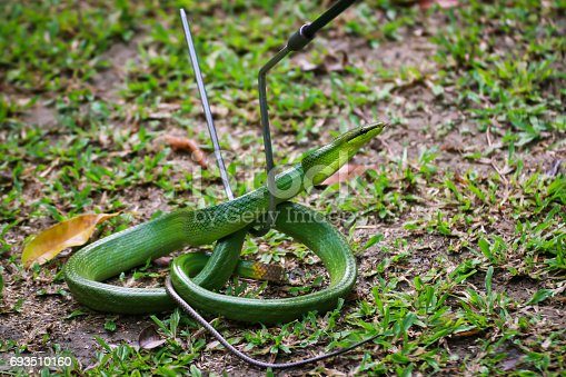 Red Tailed Green Rat snake