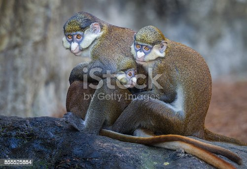 Red tailed Guenon monkey family in group hug