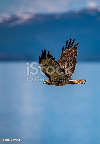 Red tailed hawk takes flight over Yellowstone Lake with snow capped mountains in background.