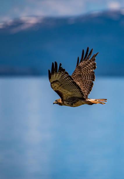 붉은 꼬리의 매를 날고 있는 옐로우 스톤 레이크 - 육식조 뉴스 사진 이미지