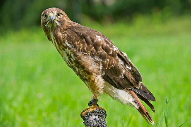 Red tailed hawk on post stock photo