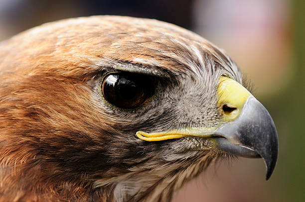 Red Tailed Hawk foto