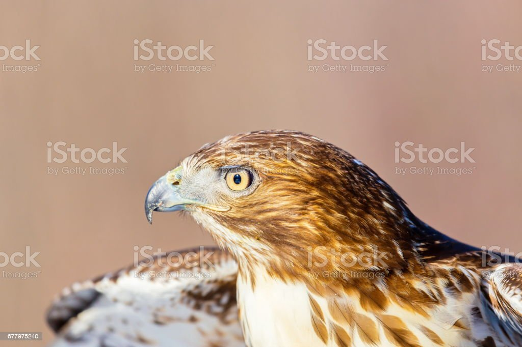 Red Tailed Hawk. royalty-free stock photo