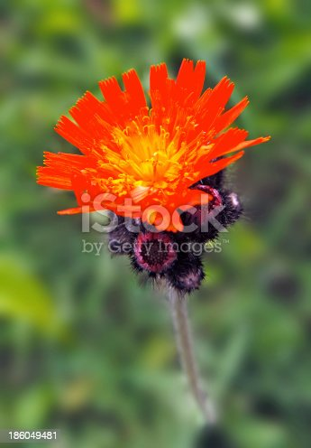 istock red thistle 186049481