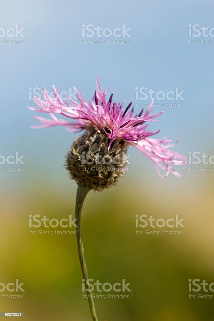 red thistle royalty-free stock photo