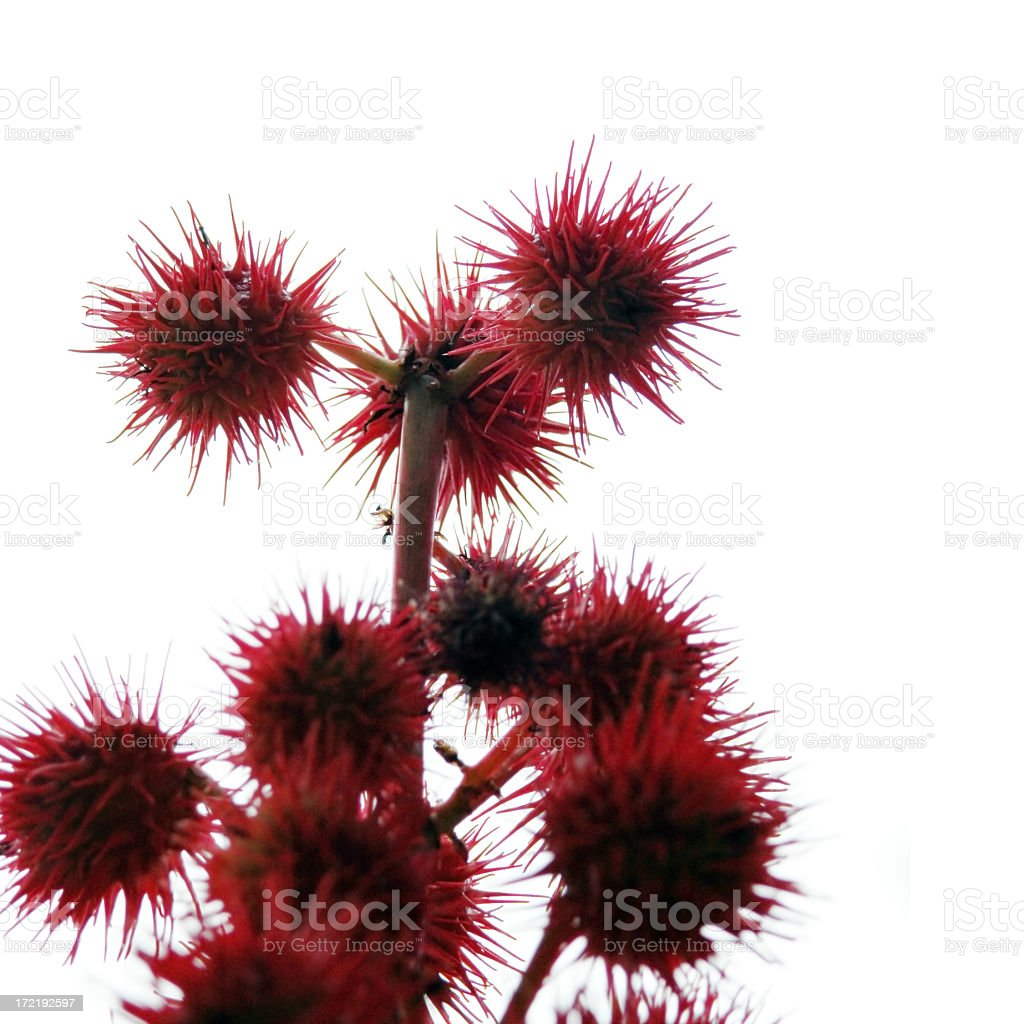 Red Thistles stock photo