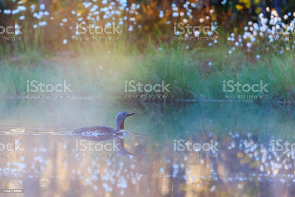 Red throated loon in morning mist at a forest pond stock photo
