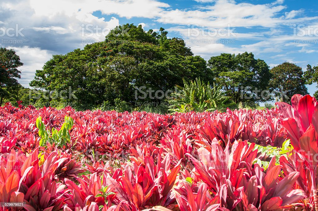 Red Ti Leaf Plant, Red Green Blue stock photo