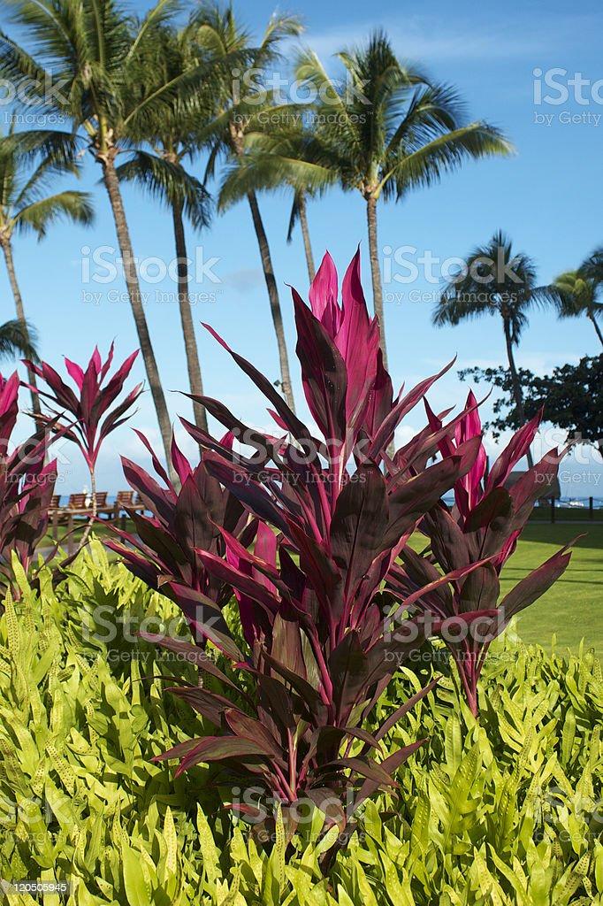Red Ti Plant stock photo