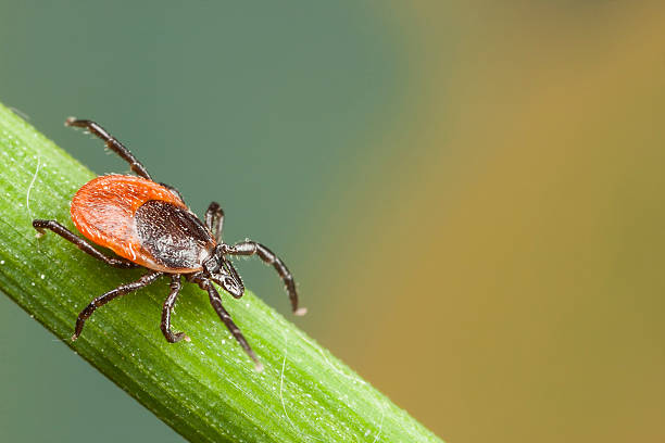 A red tick feeding on a plant straw stock photo