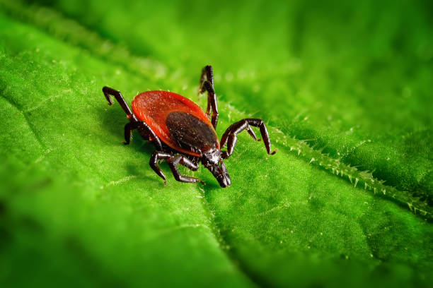 Red tick on a green leaf, sharp closeup stock photo