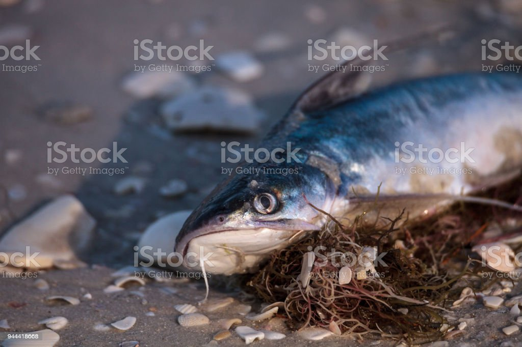 Red tide causes fish to wash up dead on Delnor-Wiggins Pass State Park beach stock photo