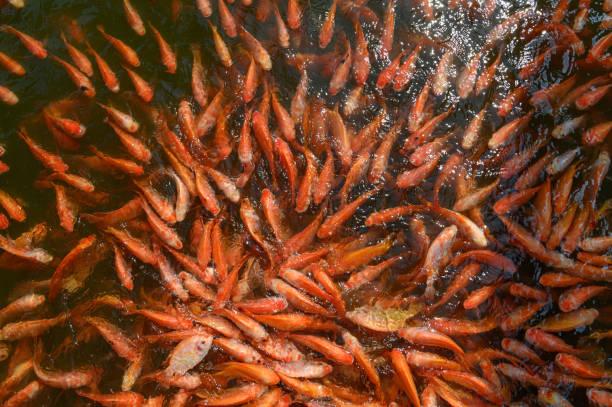 red tilapia fish farming, tubtim fish economic importance of fish farming - aquacultura imagens e fotografias de stock