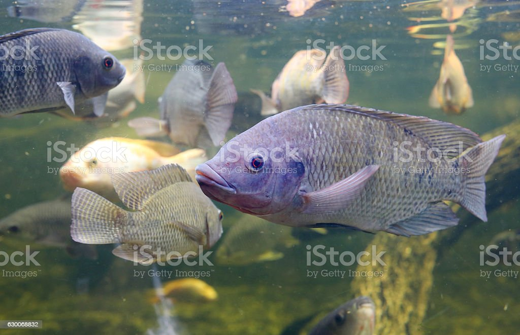 Red Tilapia fish swimming in a pond stock photo
