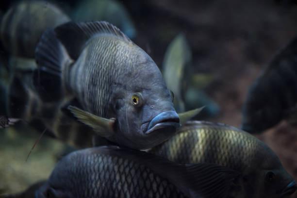 Roter Tilapia Fische in einem Teich Schwimmen – Foto