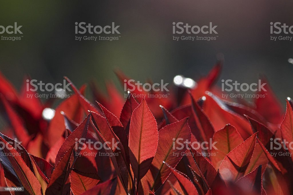 Red tips of Photinia leaves in spring plus copy space stock photo