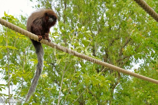Red titi monkey climbing on a branch in natural habitat avifauna the netherlands