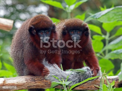 Two Red Titi monkeys sitting on a branch