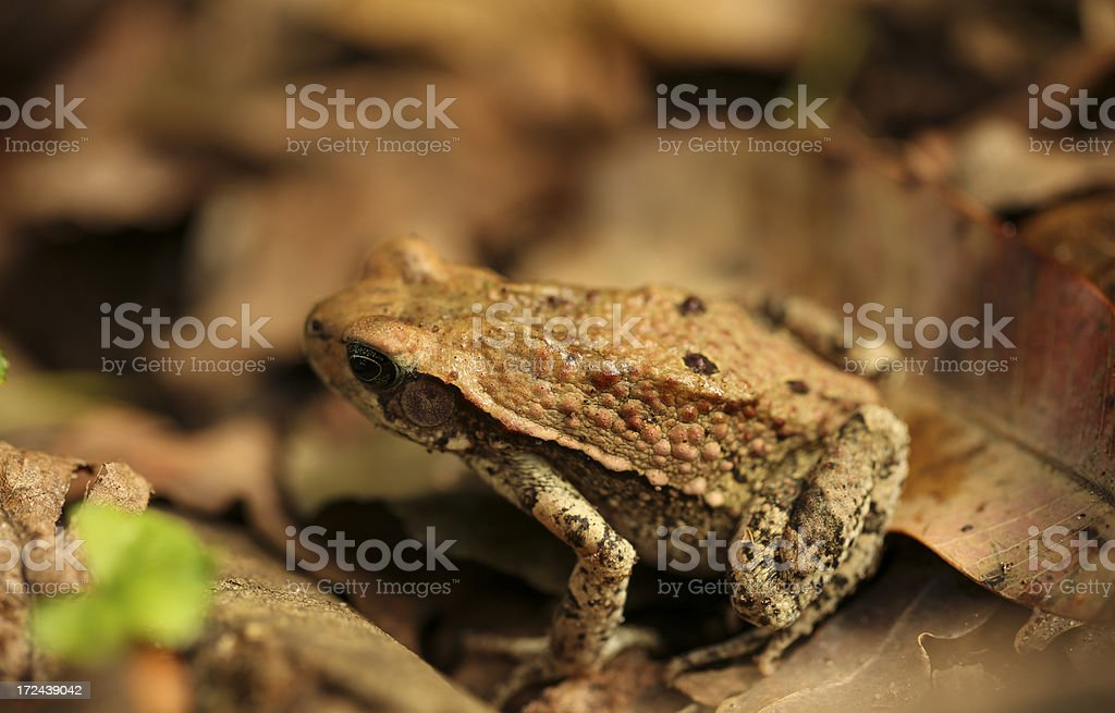 Red Toad royalty-free stock photo