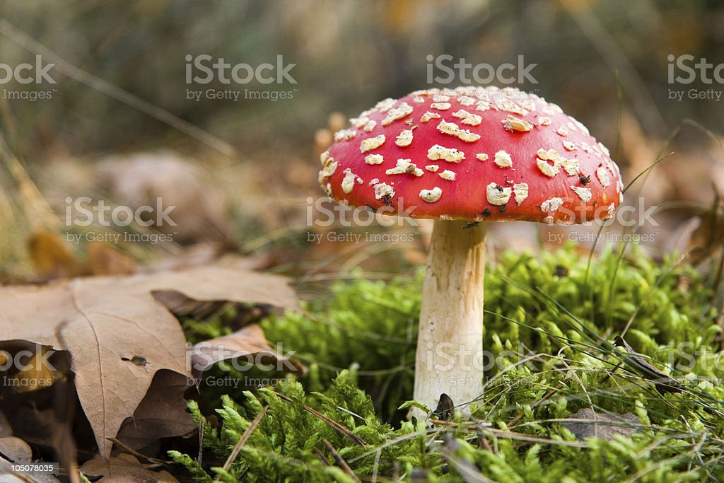 Red toadstool in forest stock photo