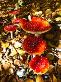 Beautiful bright red toadstools. These are the classic fairytale fungus.