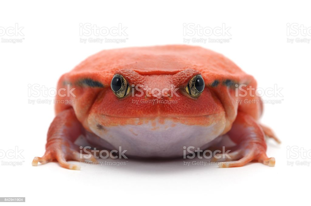 red tomato frog isolated on white background stock photo