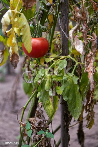 Red ripe tomato on the withered plant in the vegetable garden