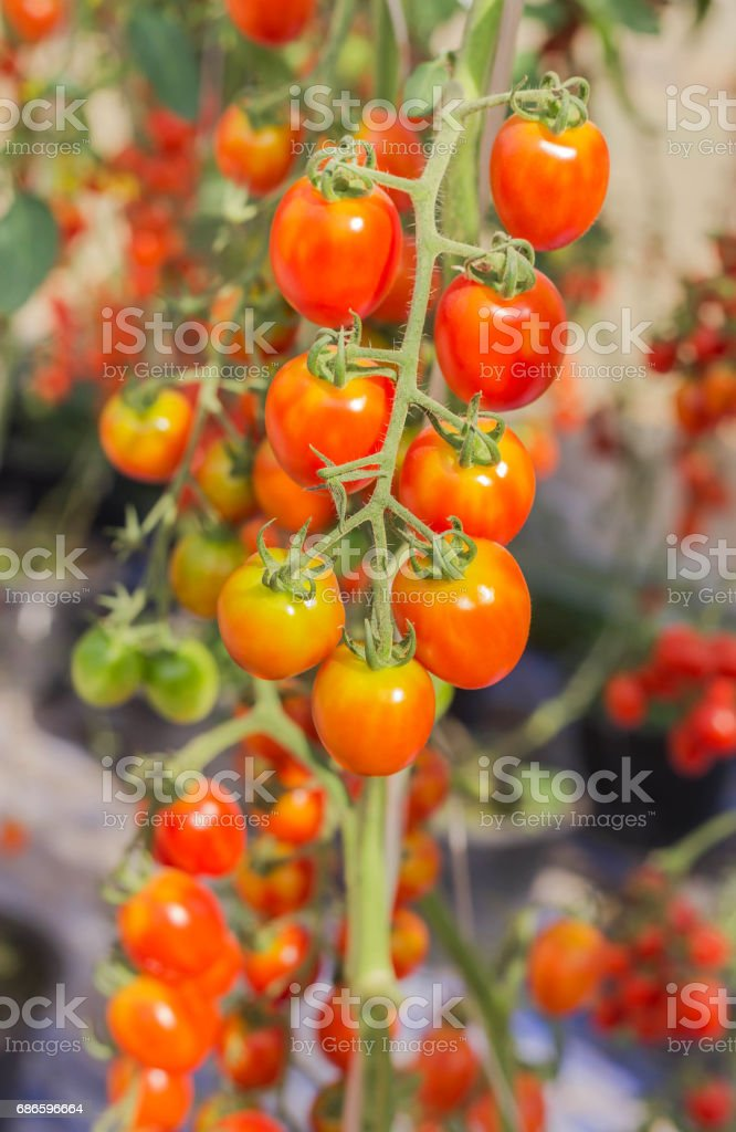 red tomatoes hanging on trees royalty-free stock photo