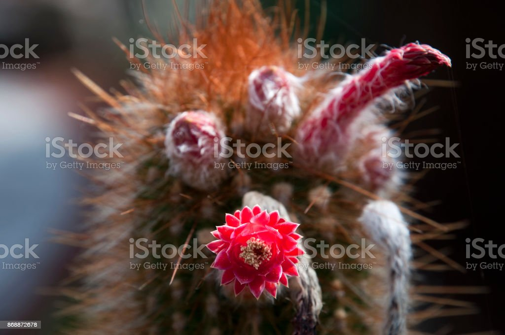red torch cactus flowers at top of stem stock photo