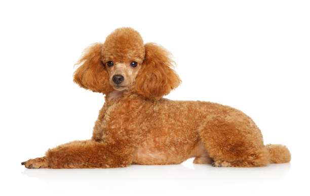 Royalty Free Toy Poodle Dog Grooming Poodle Pictures Images And
