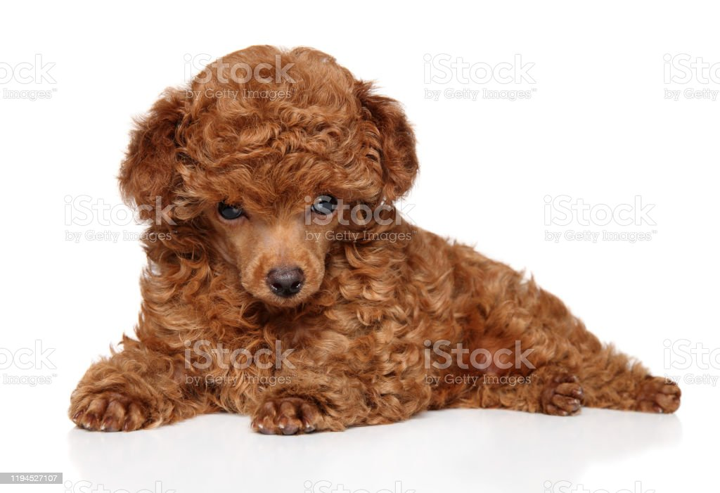 Red Toy Poodle Puppy Lying Stock Photo Download Image Now Istock